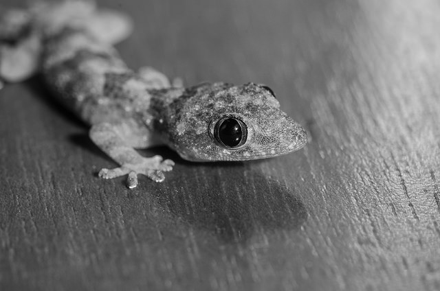 Gecko, Photo: Holley Hunt, CC BY 2.0
