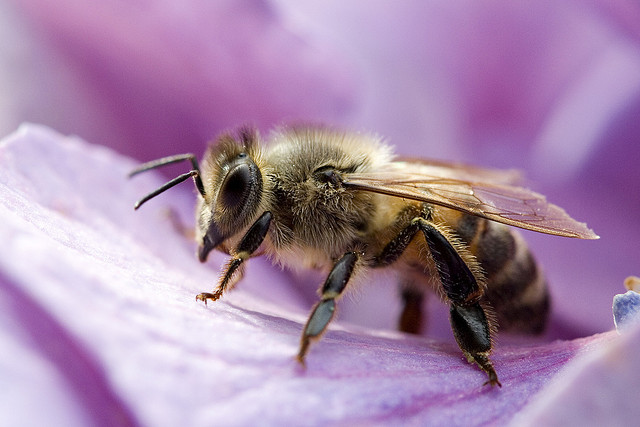 Are neonictinoids killing bees? We're not honestly sure. Photo: Flickr user Umberto Salvagnin, CC BY 2.0
