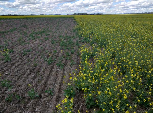 """This is why we use #neonic seed treatments in Canola; untreated (left) vs treated (right). Flea beetle damage."" Photo: Gregory Sekulic, CC BY 2.0"