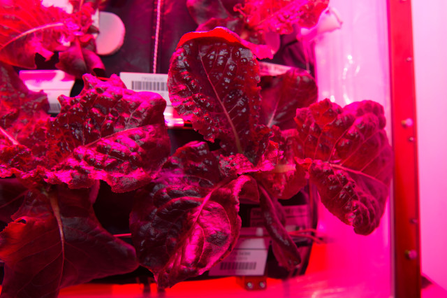 Fresh vegetables on the ISS; Photo: NASA