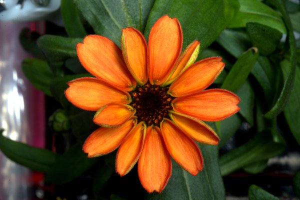 Zinnias in space | Photo: Scott Kelly, NASA