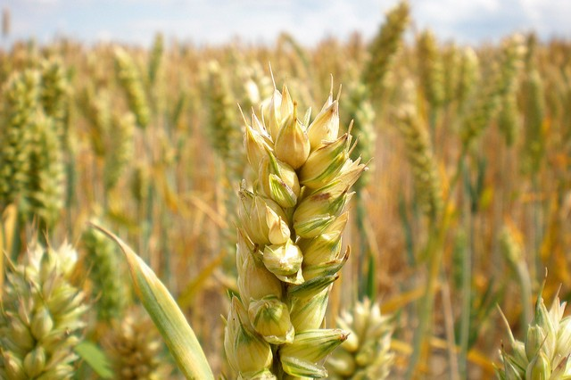 A photograph of a head of wheat in a wider wheat field.